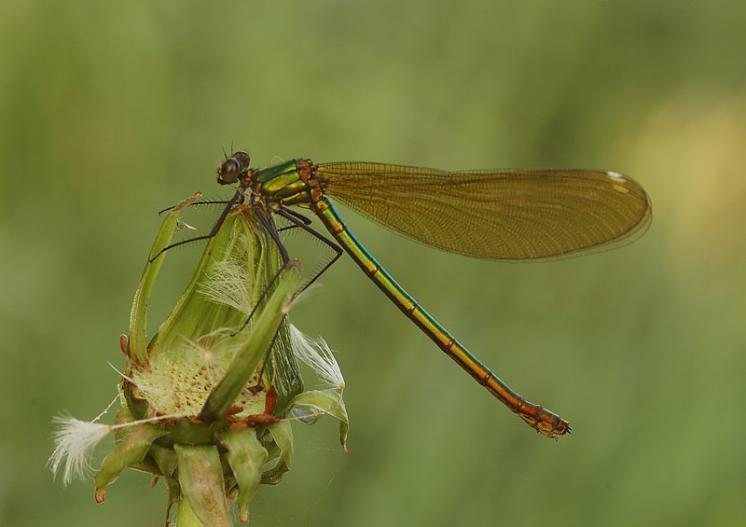 Motýlice obecná (Calopteryx virgo), Radonín, foto Václav Křivan