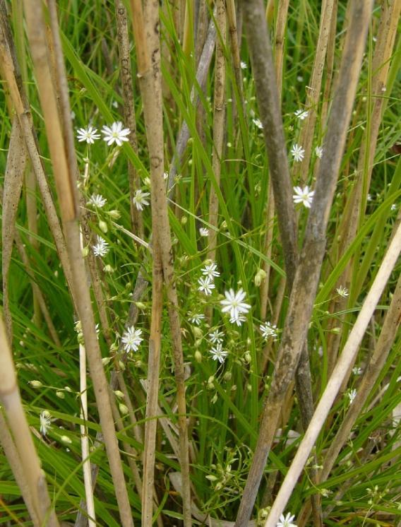 Ptačinec dlouholistý (Stellaria longifolia), EVL Znětínské rybníky, Staroborský rybník [ZR], 5.6.2014, foto Josef Komárek