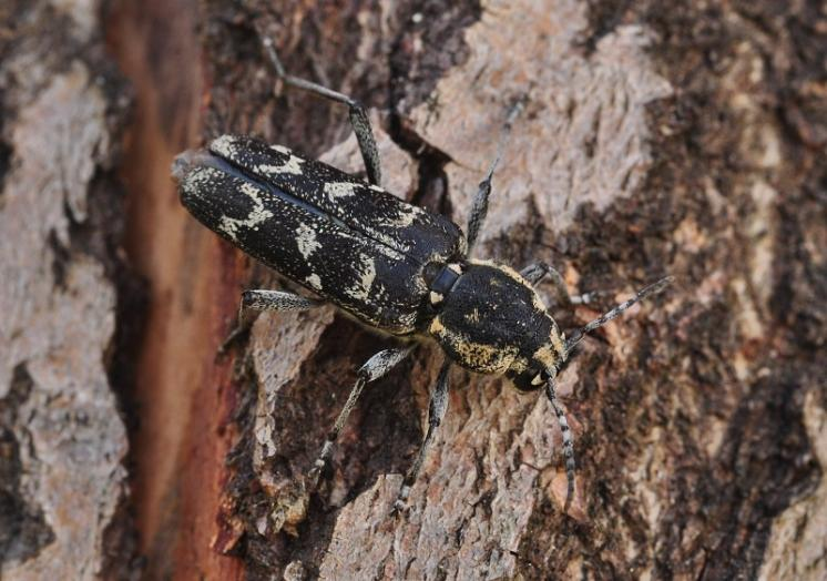Tesařík Xylotrechus rusticus, Šebkovice, foto Václav Křivan