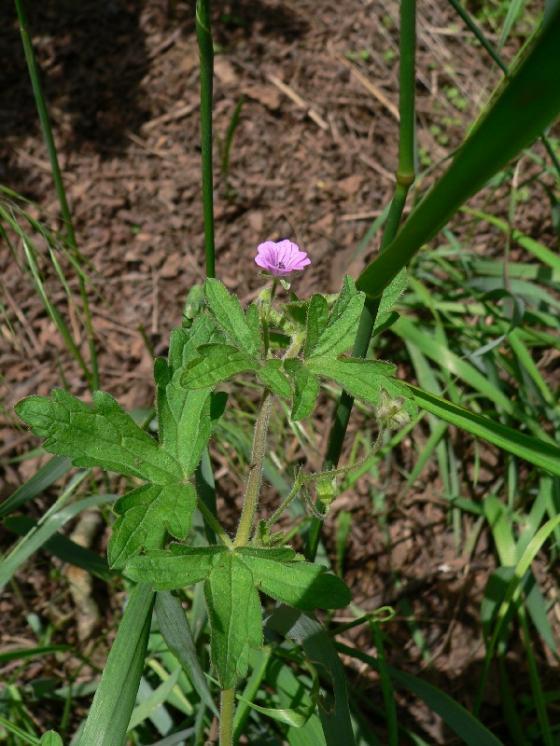 Kakost rozkladitý (Geranium divaricatum), Náměšť nad Oslavou [TR], 14.6.2012, foto Luděk Čech