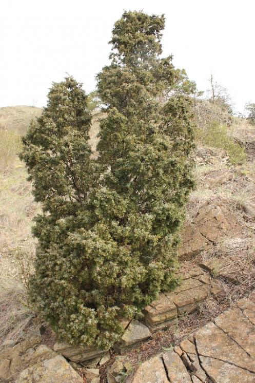 Jalovec obecný (Juniperus communis), NPR Mohelenská hadcová step [TR], 14.4.2015, foto Libor Ekrt