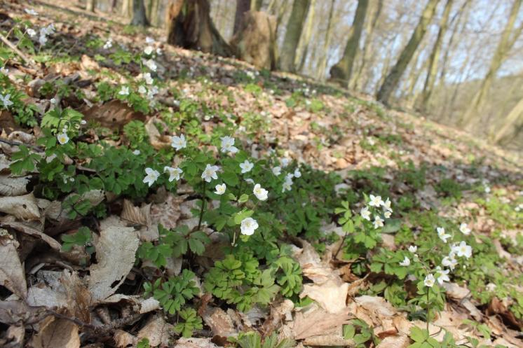 Zapalice žluťuchovitá (Isopyrum thalictroides), Plešice, Staré Duby [TR], 10.4.2015, foto Libor Ekrt