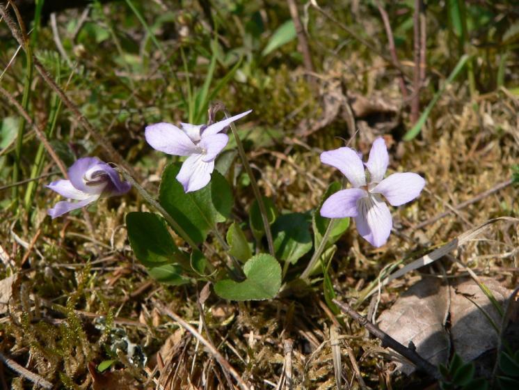 Violka písečná pravá (Viola rupestris), NPP Švařec [ZR], 24.4.2008, foto Luděk Čech