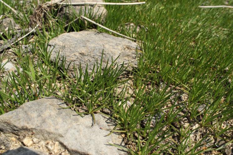 Pobřežnice jednokvětá (Littorella uniflora), Mrákotín, PP Horní Mrzatec [JI], 19.6.2013, foto Libor Ekrt