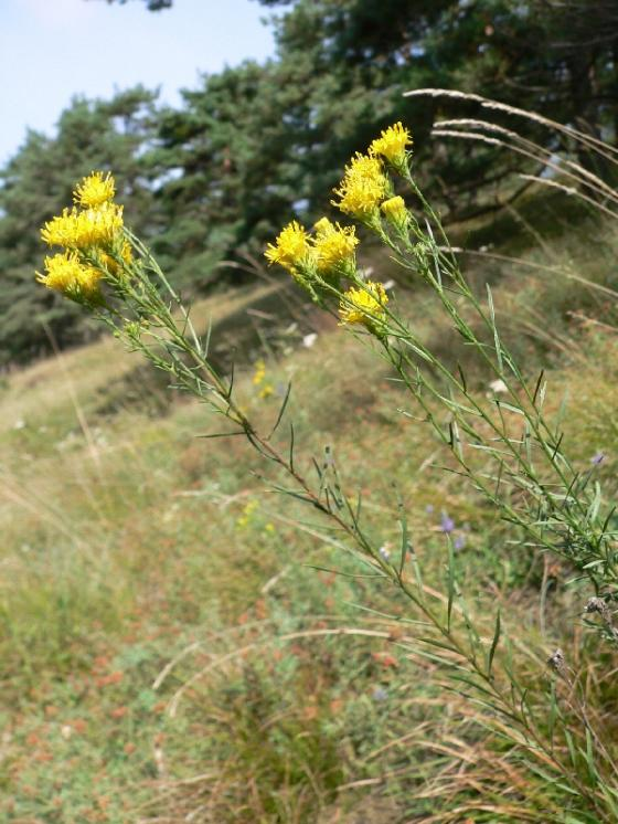 Hvězdnice zlatovlásek (Galatella linosyris), NPR Mohelenská hadcová step [TR], 25.8.2005, foto Luděk Čech