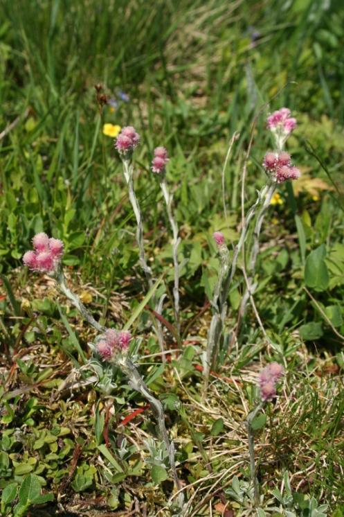 Kociánek dvoudomý (Antennaria dioica), Kněžice [JI], 2.6.2008, foto Libor Ekrt