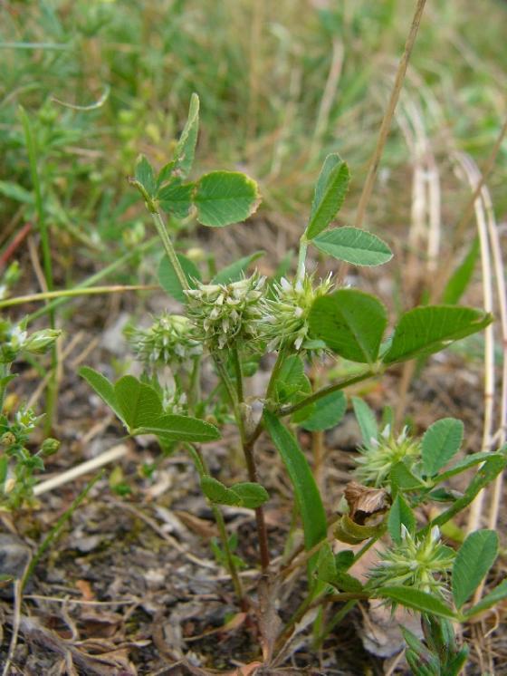 Jetel malokvětý (Trifolium retusum), Oslava [ZR], 2.6.2016, foto Josef Komárek