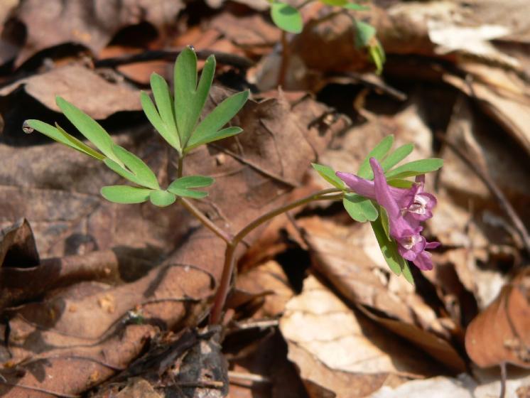 Dymnivka bobovitá (Corydalis intermedia), Herálec, Hradiště [HB], 6.4.2009, foto Luděk Čech