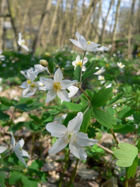 Zapalice žluťuchovitá (Isopyrum thalictroides), Kladeruby [TR], 19.4.2010, foto Luděk Čech