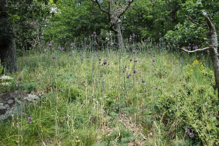 Česnek ořešec (Allium scorodoprasum), Šemíkovice, údolí Rokytné [TR], 18.6.2016, foto Libor Ekrt