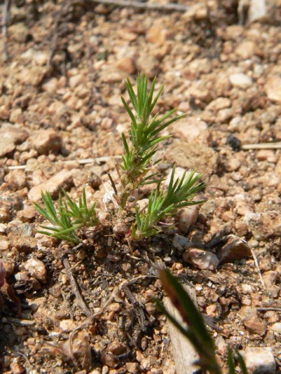 Chruplavník rolní (Polycnemum arvense), Ocmanice [TR], 1.7.2010, foto Luděk Čech