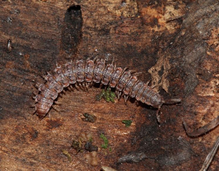 Plochule křehká (Polydesmus complanatus), foto F. Trnka