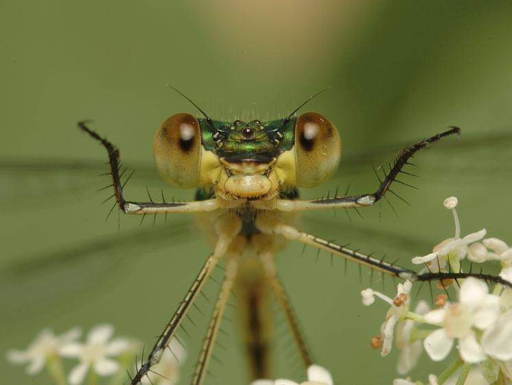 Šídlatka zelená (Lestes virens), Mohelno, foto Václav Křivan