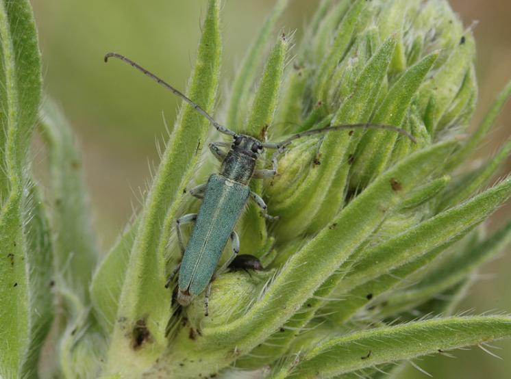 Kozlíček Phytoecia coerulescens, Třebíč, foto Václav Křivan