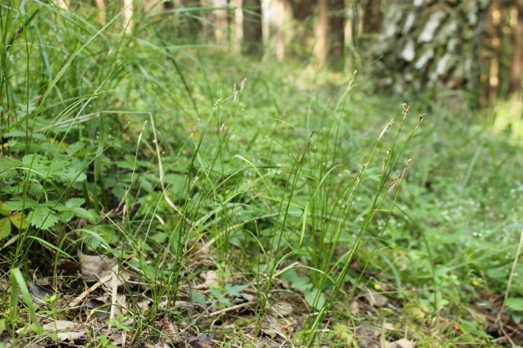Ostřice bílá (Carex alba), Hrotovice [TR], 10.6.2015, foto Libor Ekrt