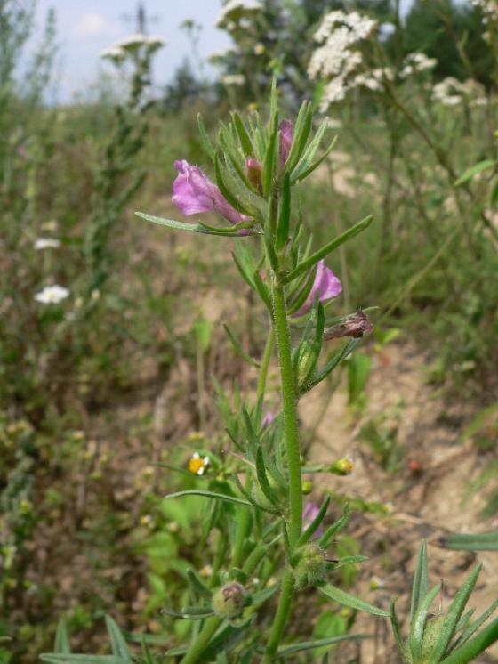 Šklebivec přímý (Misopates orontium), Trnava u Třebíče [TR], 4.8.2011, foto Luděk Čech