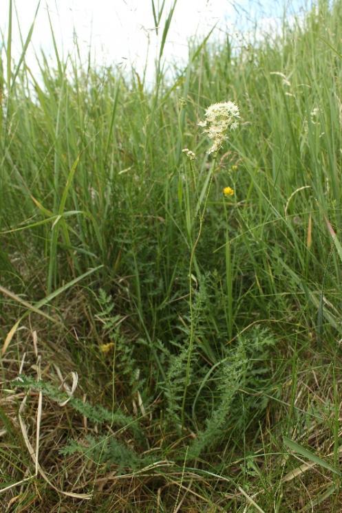 Tužebník obecný (Filipendula vulgaris), NPR Mohelenská hadcová step [TR], 16.6.2015, foto Libor Ekrt