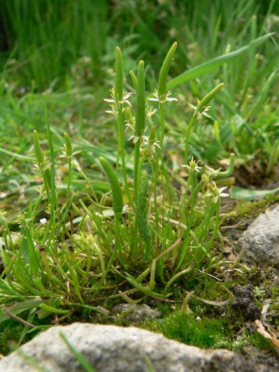 Myší ocásek nejmenší (Myosurus minimus), Hodice, Horní Jilmík [JI], 29.5.2008, foto Luděk Čech