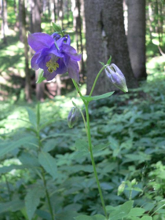 Orlíček obecný (Aquilegia vulgaris), Bolešín, PP Dědkovo [ZR], 17.6.2010, foto Luděk Čech