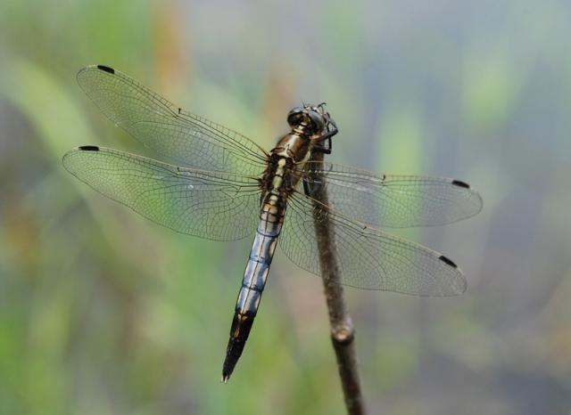 Vážka bělořitná (Orthetrum albistylum), ryb. Parný Mlýn, Krahulov, foto Václav Křivan
