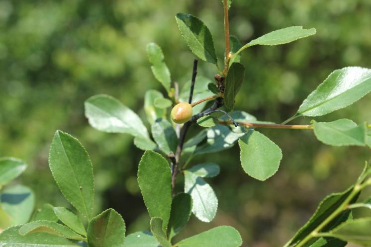 Třešeň křovitá (Prunus fruticosa), Přibyslavice [TR], 12.6.2015, foto Libor Ekrt