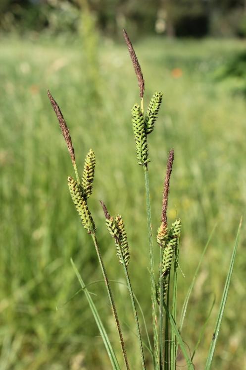 Ostřice trsnatá (Carex cespitosa), Myslibořice [TR], 10.6.2015, foto Libor Ekrt