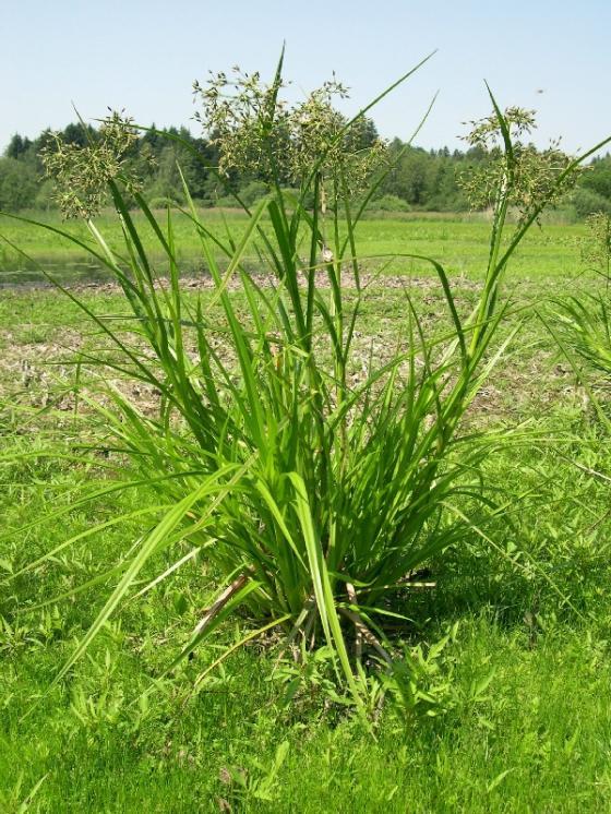 Skřípina kořenující (Scirpus radicans), Buková, rybník Broum [JI], 26.6.2006, foto Luděk Čech