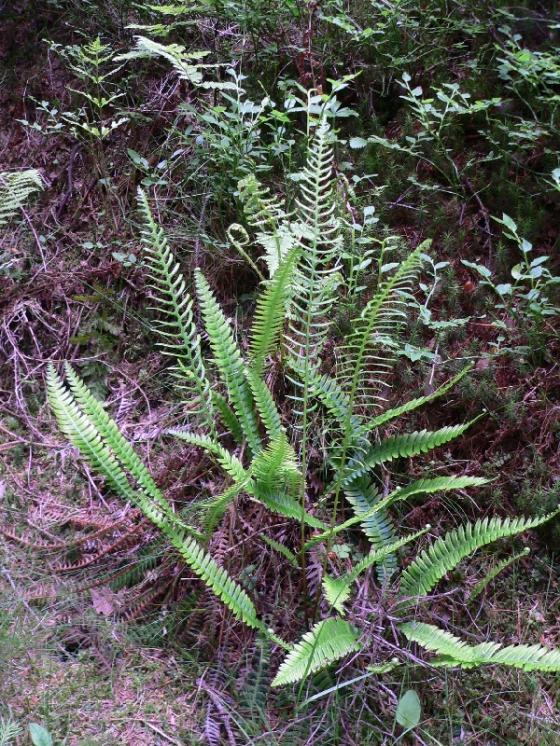Žebrovice různolistá (Blechnum spicant), Třešť, Stonařovský rybník [JI], 12.6.2007, foto Luděk Čech