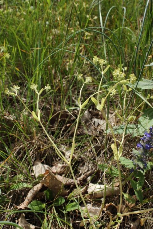 Kozlíček kýlnatý (Valerianella carinata), Šemíkovice, Výrova skála v údolí Rokytné [TR], 22.5.2016, foto Libor Ekrt