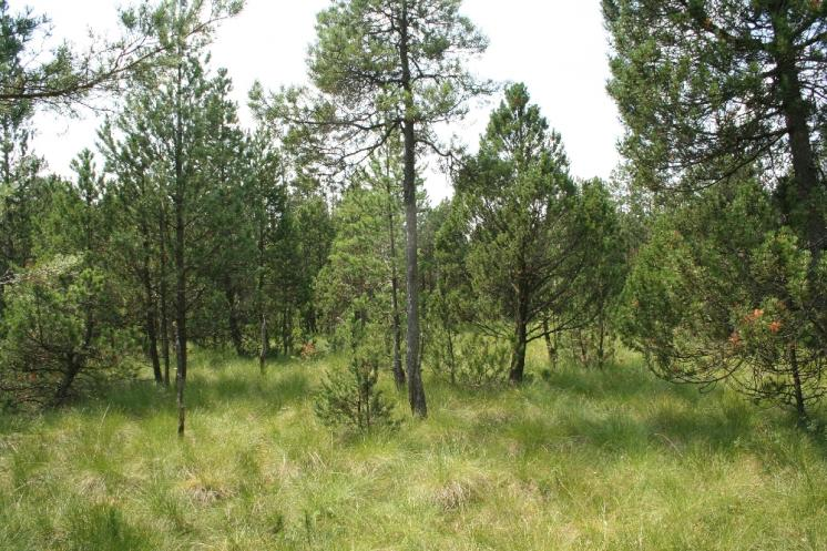 Borovice pyrenejská blatka (Pinus uncinata subsp. uliginosa), NPR Dářko, blatkový bor [ZR], 27.7.2012, foto Libor Ekrt