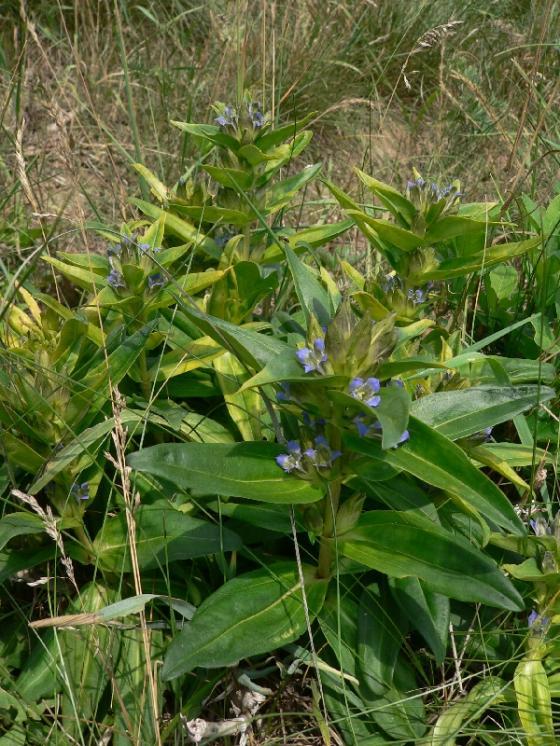 Hořec křížatý pravý (Gentiana cruciata), Rouchovany [TR], 3.7.2012, foto Luděk Čech