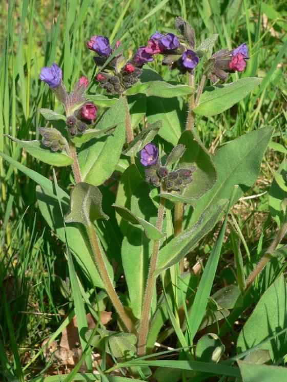 Plicník měkký (Pulmonaria mollis), Radkovice u Hrotovic [TR], 22.4.2009, foto Luděk Čech