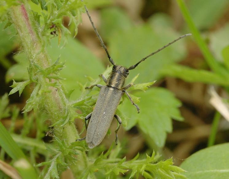 Kozlíček Phytoecia nigricornis, Dešov, foto Václav Křivan