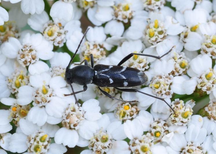 Tesařík Chlorophorus sartor, Mohelno, foto Václav Křivan