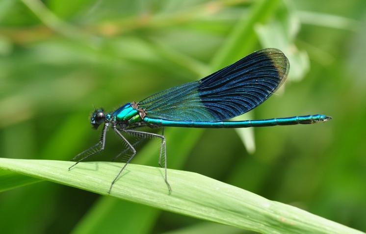 Motýlice lesklá (Calopteryx splendens), Třebíč, foto Václav Křivan