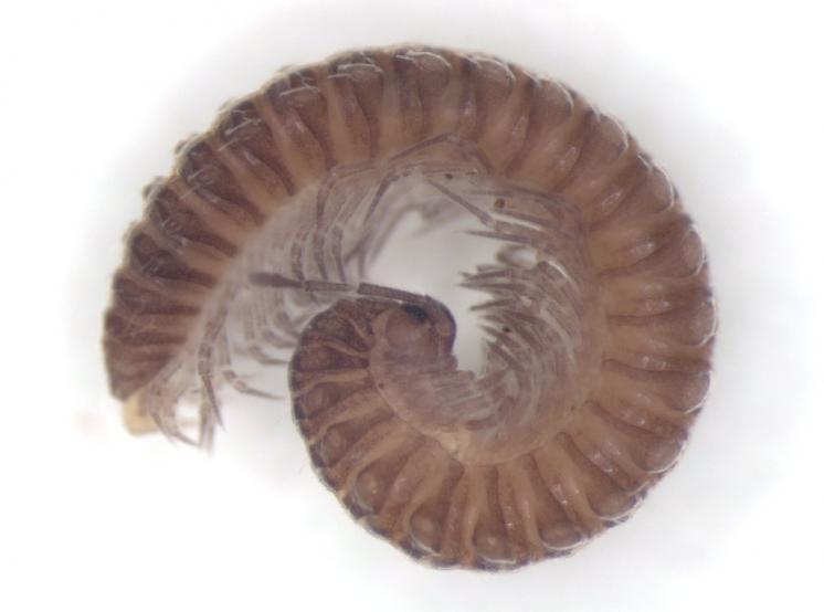 Skvrněnka severní (Listrocheiritium septentrionale), foto Karel Tajovský