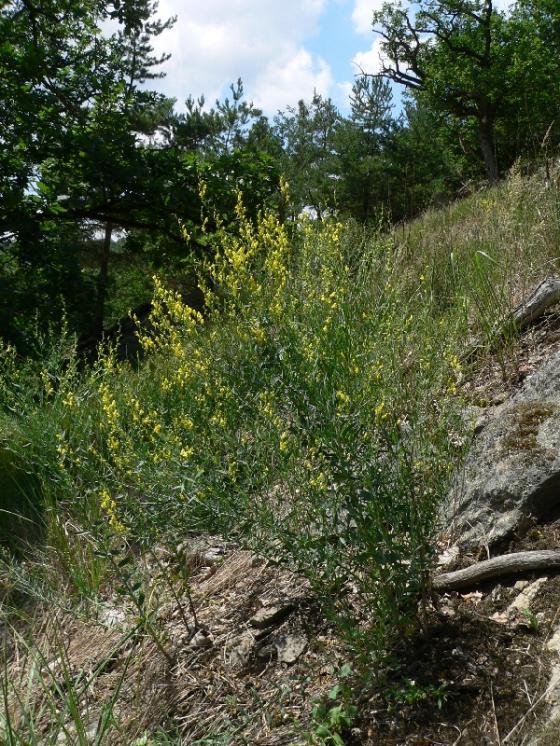 Lnice kručinkolistá (Linaria genistifolia), Šemíkovice [TR], 26.6.2012, foto Luděk Čech