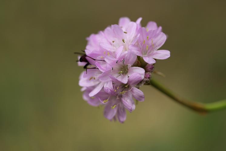 Trávnička obecná hadcová (Armeria elongata subsp. serpentini), NPR Mohelenská hadcová step [TR], 16.6.2015, foto Libor Ekrt