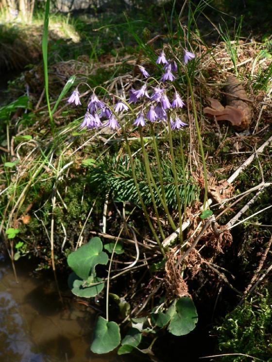 Dřípatka horská (Soldanella montana), Vlásenice-Drbohlavy [PE], 22.4.2011, foto Luděk Čech