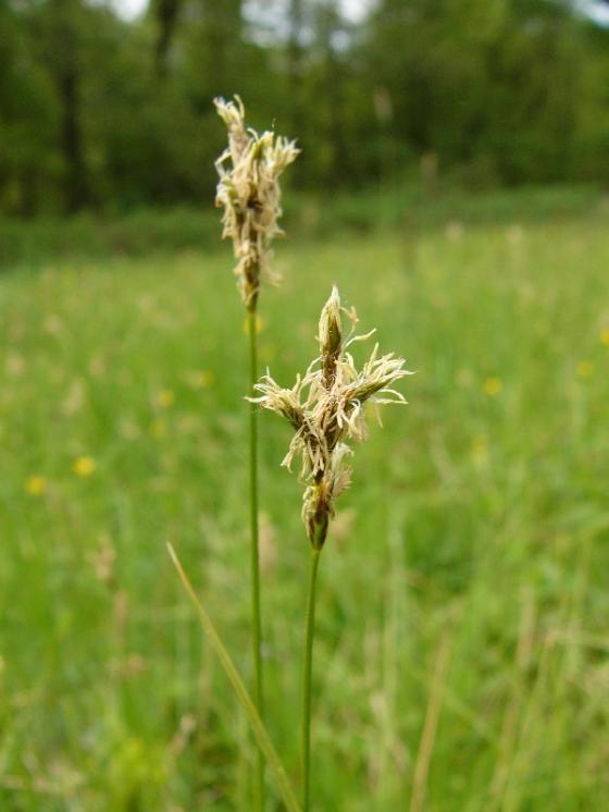 Ostřice časná (Carex praecox), Kostelní Myslová [JI], 13.5.2009, foto Josef Komárek