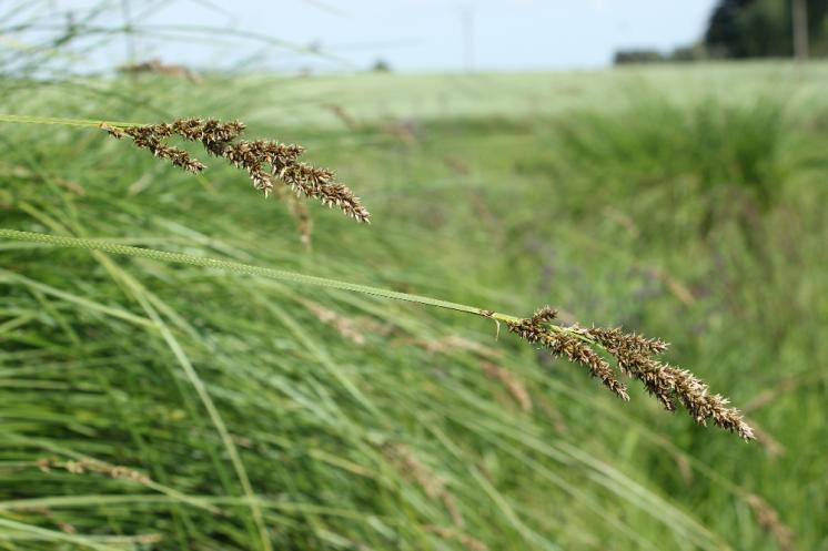 Ostřice latnatá pravá (Carex paniculata), Volevčice [JI], 14.6.2015, foto Libor Ekrt