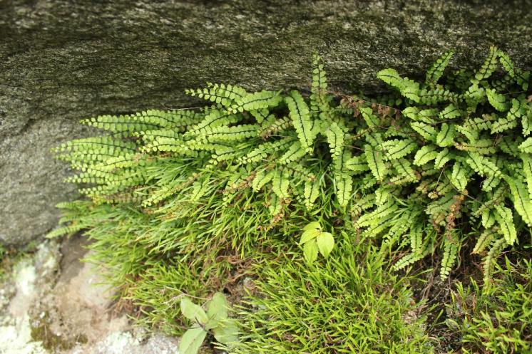 Sleziník červený pravý (Asplenium trichomanes subsp. trichomanes), PR Údolí Brtnice [JI], 8.6.2013, foto Libor Ekrt