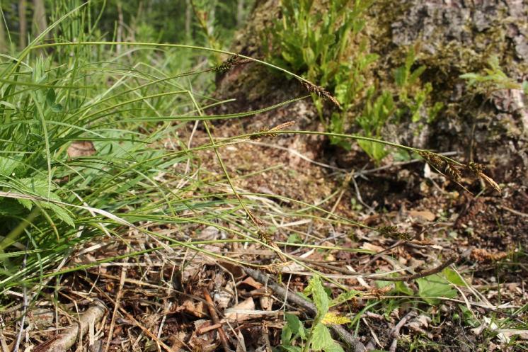 Ostřice stinná (Carex umbrosa), PP Bukovské rybníčky [JI], 29.5.2016, foto Libor Ekrt