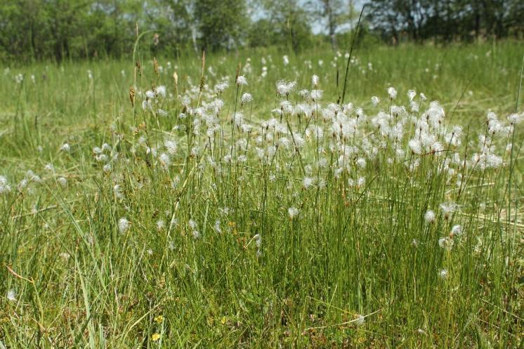 Suchopýrek alpský (Trichophorum alpinum), PR Rašeliniště Kaliště [JI], 18.6.2013, foto Libor Ekrt