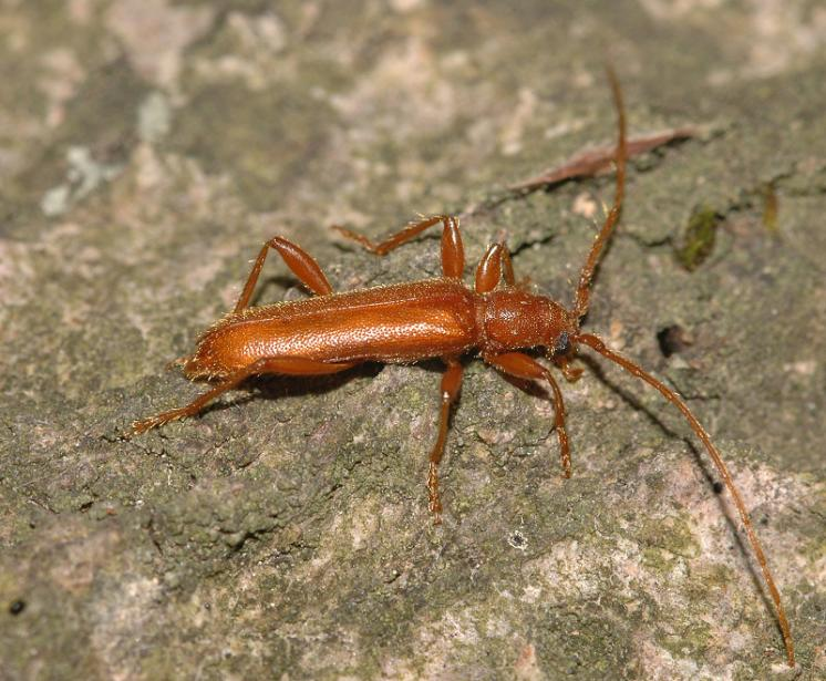 Tesařík Axinoplapis gracilis, foto Václav Křivan