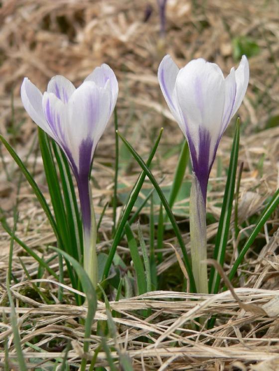 Šafrán bělokvětý (Crocus albiflorus), Nové Město na Moravě, PP U Bezděkova [ZR], 18.4.2013, foto Luděk Čech