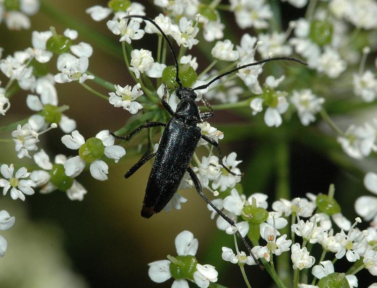 Tesařík Stenurella nigra, Brtnice, foto Václav Křivan