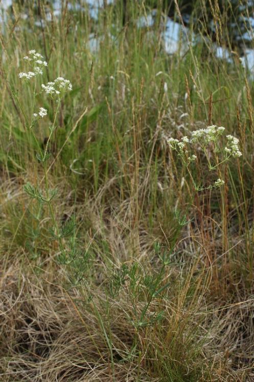 Svízel sivý (Galium glaucum), Hrotovice [TR], 10.6.2015, foto Libor Ekrt
