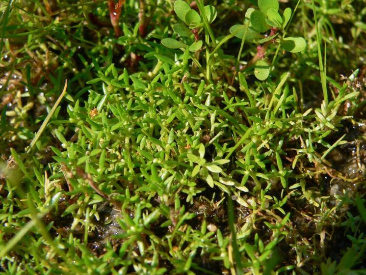 Masnice vodní (Tillaea aquatica), PP Kamenický rybník [HB], 8.6.2007, foto Luděk Čech