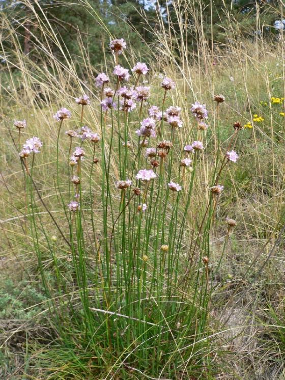 Trávnička obecná hadcová (Armeria elongata subsp. serpentini), NPR Mohelenská hadcová step [TR], 25.8.2005, foto Luděk Čech